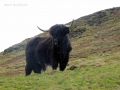 The Lovely Hairy Coos